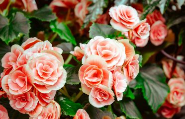 Article-Living-Coral-Bush-Flowers